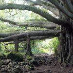1598f136 maui banyan tree 150x150 - インスタで見つけた、ハワイはマウイ島の魅力を存分に見せてくれるフォトグラファー7人