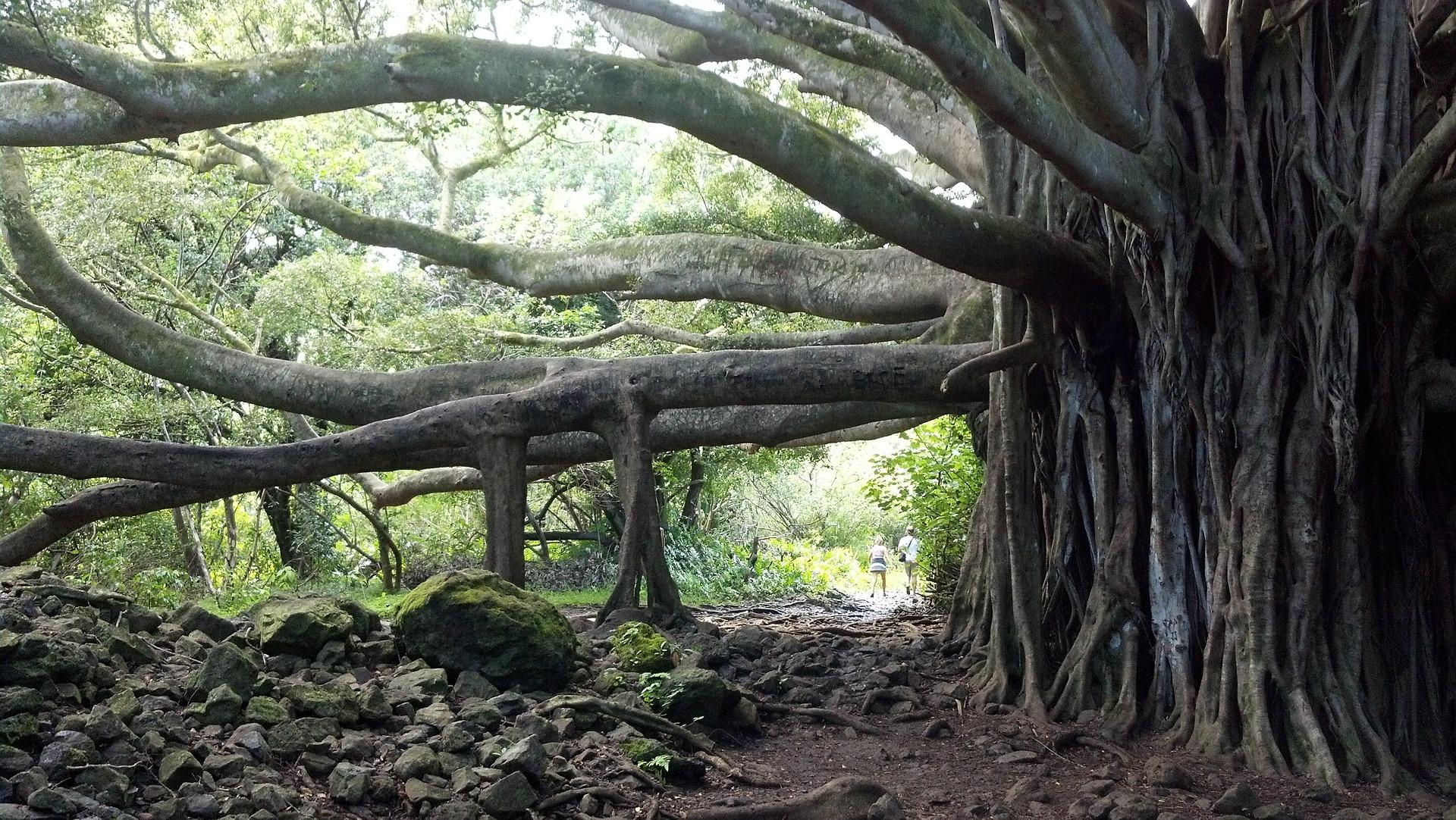 1598f136 maui banyan tree - インスタで見つけた、ハワイはマウイ島の魅力を存分に見せてくれるフォトグラファー7人